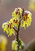 BRYANS GROUND, HEREFORDSHIRE - CLOSE UP PORTRAIT OF THE YELLOW FLOWERS OF WITCH HAZEL, HAMAMELIS MOLLIS PALLIDA, YELLOW, SHRUBS, SCENT, FRAGRANT
