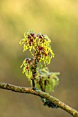 BRYANS GROUND, HEREFORDSHIRE - CLOSE UP PORTRAIT OF THE YELLOW FLOWERS OF WITCH HAZEL, HAMAMELIS X INTERMEDIA ARNOLD PRIMROSE, ORANGE, SHRUB