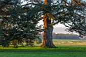 EYTHROPE, WADDESDON, BUCKINGHAMSHIRE - MAJESTIC TREE IN PARKLAND, TREES, LAWN, SUNSET, EVENING, JANUARY, WINTER