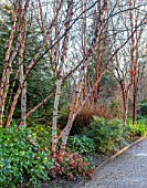 MOTTISFONT ABBEY, HAMPSHIRE. THE NATIONAL TRUST: WINTER GARDEN, JANUARY, BIRCH, BETULA, PHORMIUM, BORDER, BARK, TRUNKS, PATH