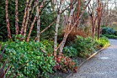 MOTTISFONT ABBEY, HAMPSHIRE. THE NATIONAL TRUST: WINTER GARDEN, JANUARY, BIRCH, BETULA, PHORMIUM, BORDER, BARK, TRUNKS