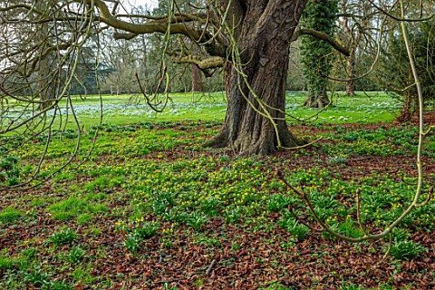 WADDESDON_EYTHROPE_BUCKINGHAMSHIRE_DRIFTS_OF_ACONITES_IN_PARKLAND_SHEETS_YELLOW_FLOWERS_TREES_PARKS_