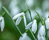 WADDESDON, EYTHROPE, BUCKINGHAMSHIRE: CLOSE UP PORTRAIT OF THE WHITE FLOWERS OF SNOWDROP, GALANTHUS ATKINSII, BULBS, WINTER, JANUARY, FLOWERING, BLOOMS, BLOOMING