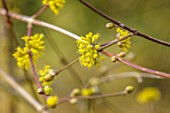 WADDESDON, EYTHROPE, BUCKINGHAMSHIRE: CLOSE UP PORTRAIT OF THE YELLOW FLOWERS OF CORNUS MAS, SHRUBS, WINTER, JANUARY, FLOWERING, BLOOMS, BLOOMING, FRAGRANT, SCENTED