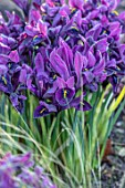 CHIPPENHAM PARK, CAMBRIDGESHIRE: CLOSE UP PLANT PORTRAIT OF PURPLE FLOWERS OF IRIS RETICULATA PIXIE, STIPA TENUISSIMA, BULBS, IRISES