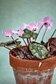 BIRMINGHAM BOTANICAL GARDENS: NATIONAL COLLECTION OF SPRING FLOWERING CYCLAMEN. TERRACOTTA CONTAINER WITH PINK FLOWERS OF CYCLAMEN LIBANOTICUM. LEBANON, BULBS