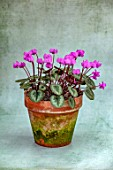 BIRMINGHAM BOTANICAL GARDENS: NATIONAL COLLECTION OF SPRING FLOWERING CYCLAMEN. TERRACOTTA CONTAINER WITH PINK FLOWERS OF CYCLAMEN COUM, BULBS