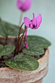 BIRMINGHAM BOTANICAL GARDENS: NATIONAL COLLECTION OF SPRING FLOWERING CYCLAMEN. TERRACOTTA CONTAINER WITH PINK FLOWERS OF CYCLAMEN ELEGANS, BULBS