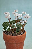 BIRMINGHAM BOTANICAL GARDENS: NATIONAL COLLECTION OF SPRING FLOWERING CYCLAMEN, WHITE FLOWERS OF CYCLAMEN COUM SUBSP COUM FORMA ALBISSIMUM, TURKEY