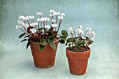 BIRMINGHAM BOTANICAL GARDENS: NATIONAL COLLECTION OF SPRING FLOWERING CYCLAMEN, CYCLAMEN COUM SUBSP COUM FORMA ALBISSIMUM, CYCLAMEN COUM FORMA ALBISSIMUM