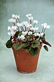 BIRMINGHAM BOTANICAL GARDENS: NATIONAL COLLECTION OF SPRING FLOWERING CYCLAMEN, WHITE FLOWERS OF CYCLAMEN COUM FORMA ALBISSIMUM