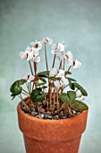 BIRMINGHAM BOTANICAL GARDENS: NATIONAL COLLECTION OF SPRING FLOWERING CYCLAMEN, TERRACOTTA CONTAINER WITH WHITE FLOWERS OF CYCLAMEN COUM SUBSP COUM FORMA ALBISSIMUM