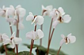 BIRMINGHAM BOTANICAL GARDENS: NATIONAL COLLECTION OF SPRING FLOWERING CYCLAMEN, WHITE FLOWERS OF CYCLAMEN COUM SUBSP COUM FORMA ALBISSIMUM