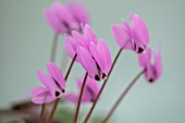 BIRMINGHAM BOTANICAL GARDENS: NATIONAL COLLECTION OF SPRING FLOWERING CYCLAMEN, PINK FLOWERS OF CYCLAMEN PSEUDOIBERICUM. TURKEY