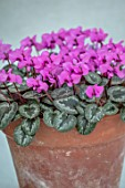 BIRMINGHAM BOTANICAL GARDENS: NATIONAL COLLECTION OF SPRING FLOWERING CYCLAMEN, PINK FLOWERS OF CYCLAMEN ALPINUM, IRAN