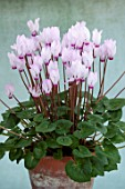 BIRMINGHAM BOTANICAL GARDENS: NATIONAL COLLECTION OF SPRING FLOWERING CYCLAMEN, TERRACOTTA CONTAINER WITH PINK, WHITE FLOWERS OF CYCLAMEN PERSICUM