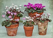 BIRMINGHAM BOTANICAL GARDENS: NATIONAL COLLECTION OF SPRING FLOWERING CYCLAMEN LIBANOTICUM, TILEBARN ELIZABETH, COUM FORMA ALBISSIMUM, ALPINUM, COUM SUBSP COUM F ALBISSIMUM