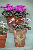 BIRMINGHAM BOTANICAL GARDENS: NATIONAL COLLECTION OF SPRING FLOWERING CYCLAMEN: CYCLAMEN TILEBARN ELIZABETH, ALPINUM, COUM SUBSP COUM F ALBISSIMUM