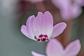 BIRMINGHAM BOTANICAL GARDENS: NATIONAL COLLECTION OF SPRING FLOWERING CYCLAMEN, PINK FLOWERS OF CYCLAMEN LIBANOTICUM, TURKEY, LEBANON, SYRIA