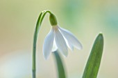 JOE SHARMAN SNOWDROPS: CLOSE UP PORTRAIT OF GALANTHUS CREME ANGLAISE. BULBS