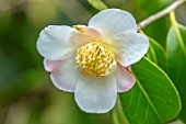 MORTON HALL GARDENS, WORCESTERSHIRE: CLOSE UP PLANT PORTRAIT OF WHITE, PINK FLOWERS OF CAMELLIA X WILLIAMSII BURNCOOSE APPLE BLOSSOM. SHRUBS, MARCH, EVERGREEN, BLOOMS, FLOWERING