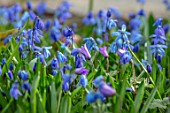 MORTON HALL GARDENS, WORCESTERSHIRE: BLUE FLOWER OF SCILLA SIBERICA AND ANEMONE BLANDA. MARCH, BULBS, SQUILLS, FLOWERING