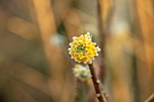 THE PICTON GARDEN AND OLD COURT NURSERIES, WORCESTERSHIRE: CLOSE UP PLANT PORTRAIT OF EDGEWORTHIA CHRYSANTHA GRANDIFLORA. YELLOW, FLOWER, FLOWERS, SHRUB, FRAGRANT, SCENTED, MARCH