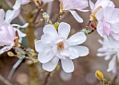 MORTON HALL GARDENS, WORCESTERSHIRE: CLOSE UP OF PINK FLOWERS OF MAGNOLIA STELLATA ALIXEED. TREES, APRIL, SPRING, FLOWERING, BLOOMING
