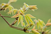 MORTON HALL GARDENS, WORCESTERSHIRE: EMERGING, UNFURLING NEW LEAVES OF ACER TRIFLORUM. FOLIAGE, LEAVES, ACERS, MAPLES, APRIL, SPRING