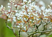 MORTON HALL GARDENS, WORCESTERSHIRE: PORTRAIT OF WHITE FLOWERS, BLOSSOM OF AMELANCHIER X GRANDIFLORA PRINCESS DIANA. BLOOMING, FLOWERING, APRIL, SPRING, TREES