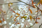 MORTON HALL GARDENS, WORCESTERSHIRE: PORTRAIT OF WHITE FLOWERS, BLOSSOM OF AMELANCHIER LAEVIS SNOWFLAKES. BLOOMING, FLOWERING, APRIL, SPRING, TREES