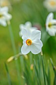 MORTON HALL GARDENS, WORCESTERSHIRE: CLOSE UP OF WHITE, CREAM, ORANGE FLOWERS OF DAFFODIL, NARCISSUS POETICUS ACTAEA, BULBS, SPRING, APRIL