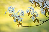 MORTON HALL GARDENS, WORCESTERSHIRE: CLOSE UP PORTRAIT OF WHITE FLOWERS OF AMELANCHIER X GRANDIFLORA PRINCESS DIANA, TREES, SHRUBS, DECIDUOUS, SPRING, APRIL, SCENT, SCENTED