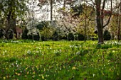 MORTON HALL GARDENS, WORCESTERSHIRE: SPRING, APRIL, MEADOW, NARCISSUS, DAFFODILS, SNAKES HEAD FRITILLARIES, AMELANCHIER PRINCESS DIANA, VIBURNUM TINUS EVE PRICE, BLOSSOM