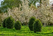 MORTON HALL GARDENS, WORCESTERSHIRE: SPRING, APRIL, MEADOW, AMELANCHIER PRINCESS DIANA, VIBURNUM TINUS EVE PRICE, BLOSSOM