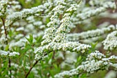 MORTON HALL GARDENS, WORCESTERSHIRE: SPRING, WHITE FLOWERS, BLOSSOM OF SPIRAEA ARGUTA, BRIDAL WREATH, SHRUBS, APRIL, BLOOMS, FLOWERS