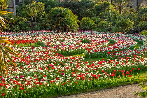 ARUNDEL_CASTLE_GARDENS_WEST_SUSSEX_LABYRINTH_OF_TULIPS_AND_DAFFODILS__TULIPA_PURPLE_DREAM_TULIPA_RED