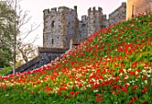 ARUNDEL CASTLE GARDENS, WEST SUSSEX: MEADOW, DAFFODILS, TULIPS. SLOPING LAWN, DUKE HENRYS ENTRANCE - RED FLOWERS OF TULIPA APELDOORN RED AND WHITE FLOWERS OF NARCISUUS THALIA