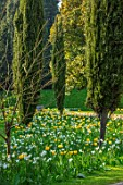 ARUNDEL CASTLE GARDENS, WEST SUSSEX: NATURAL PLANTING, MEADOW, WHITE FLOWERS OF NARCISSUS THALIA, YELLOW FLOWERS OF TULIPA YELLOW APELDOORN, BULBS, SPRING, APRIL