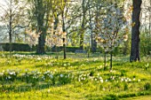 MORTON HALL GARDENS, WORCESTERSHIRE: THE MEADOW, PARK, SPRING, APRIL, DAFFODILS, NARCISSUS, CHERRIES, PRUNUS FRAGRANT CLOUD