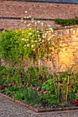 MORTON HALL GARDENS, WORCESTERSHIRE: KITCHEN GARDEN -  MAGNOLIA GOLD STAR, TULIP AMAZING GRACE, TREES, BLOSSOMS, FLOWERING, BLOOMING, WALLS, SUNSET