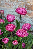 MORTON HALL GARDENS, WORCESTERSHIRE: PLANT PORTRAIT OF PINK FLOWERING, BLOOMING TULIP - TULIPA AMAZING GRACE, BULBS, SPRING, APRIL