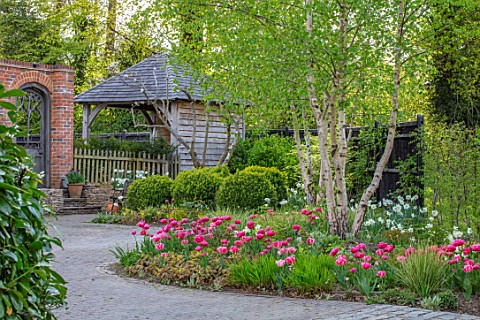 LITTLE_ORCHARDS_SURREY_DESIGNER_NIC_HOWARD_FRONT_GARDEN_DRIVE_APRIL_SPRING_BULBS_BIRCH_TULIPS_TULIPA