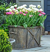 LITTLE ORCHARDS, SURREY, DESIGNER NIC HOWARD: METAL CONTAINER WITH TULIPS, SPRING, APRIL, PATIO, COURTYARD, TULIPA MOUNT TACOMA, DANCELINE AND AVEYRON
