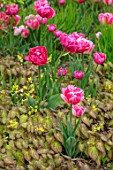 LITTLE ORCHARDS, SURREY, DESIGNER NIC HOWARD: SPRING, PINK FLOWERS OF DOUBLE EARLY TULIP, TULIPA AVEYRON, FOXTROT, EPIMEDIUM SULPHUREUM, FLOWERING, BLOOMING, BULBS