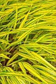LITTLE ORCHARDS, SURREY, DESIGNER NIC HOWARD: PLANT PORTRAIT OF YELLOW VARIEGATED LEAVES, FOLIAGE OF HAKONECHLOA MACRA ALBOSTRIATA, ORNAMENTAL, GRASSES