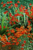 HELENIUM MOERHEIM BEAUTY WITH CROCOSMIA LUCIFER BEHIND EASTGROVE COTTAGE  WORCESTERSHIRE.