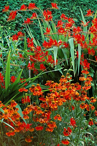 HELENIUM_MOERHEIM_BEAUTY_WITH_CROCOSMIA_LUCIFER_BEHIND_EASTGROVE_COTTAGE__WORCESTERSHIRE