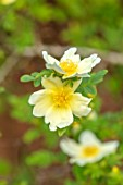 MORTON HALL GARDENS, WORCESTERSHIRE: PLANT PORTRAIT OF PALE YELLOW, CREAM FLOWERS OF ROSE - ROSA XANTHINA F HUGONIS, HUGOS ROSE, FLOWERING, SCENTED, FRAGRANT, SHRUBS