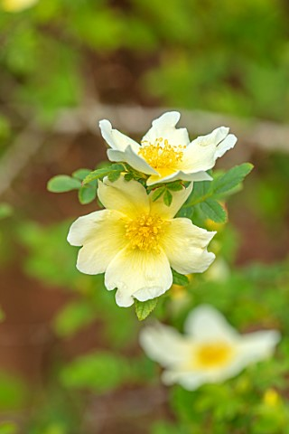 MORTON_HALL_GARDENS_WORCESTERSHIRE_PLANT_PORTRAIT_OF_PALE_YELLOW_CREAM_FLOWERS_OF_ROSE__ROSA_XANTHIN